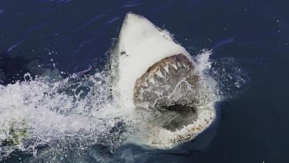 MYTE #1: Hajer æder mennesker
