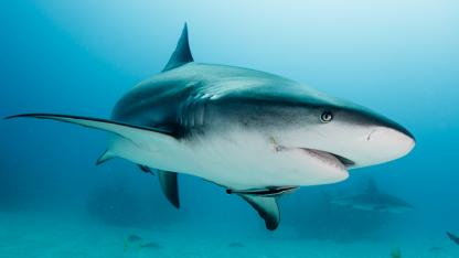 MYTE #3: Hajer drukner hvis de stopper med at svømme