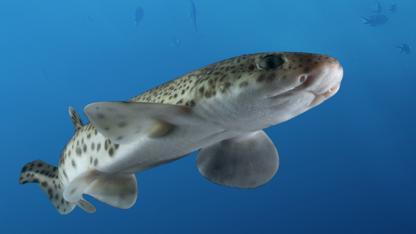 MYTE #5: Der findes ikke store hajer i Danmark