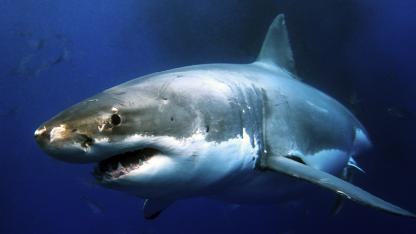 MYTE #6: Hajer kan lugte en dråbe blod i en svømmehal